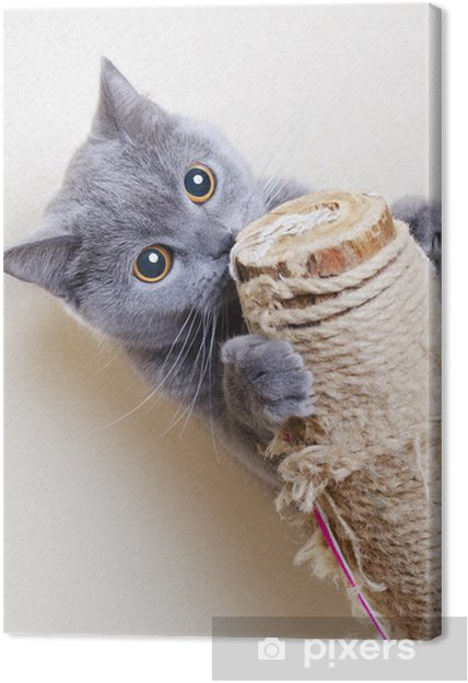 Leinwandbild Britische Katze Kratzbäume - Themen