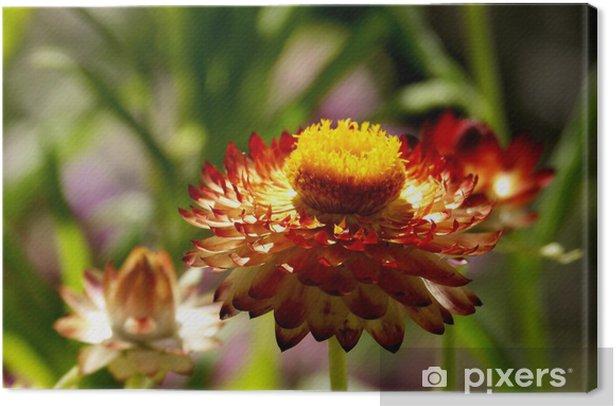Leinwandbild Burnt orange Strohblume bei strahlendem Sonnenschein - Blumen