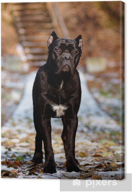 Leinwandbild Cane Corso Dog Portrait Standing Pixers Wir Leben