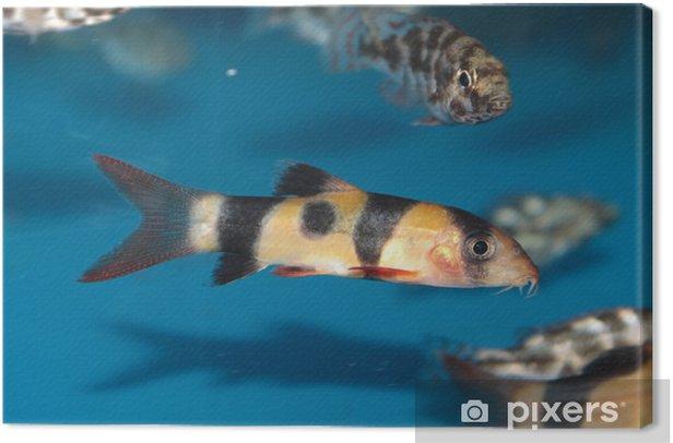 Leinwandbild Clown Loach (Botia macracantha) Süßwasser-Aquarienfische - Unterwasserwelt