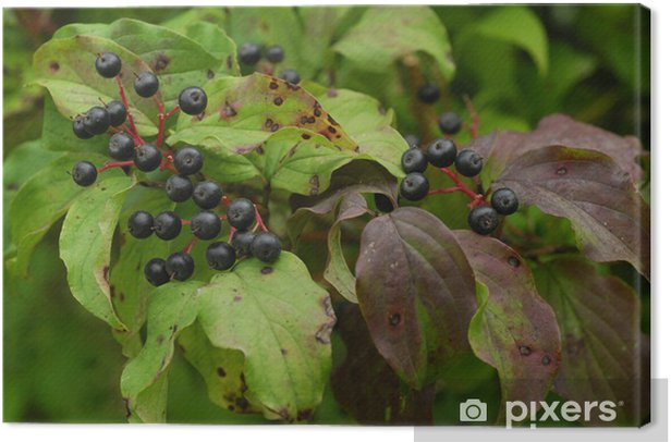 Leinwandbild Cornus sanguinea / Cornouiller sanguin / Dogberry - Haus und Garten