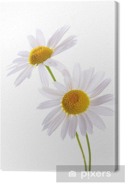 Leinwandbild Die schöne Daisy isoliert auf weiß - Blumen