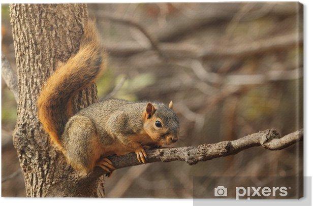 Leinwandbild Eastern Fox Squirrel, Sciurus niger - Säugetiere