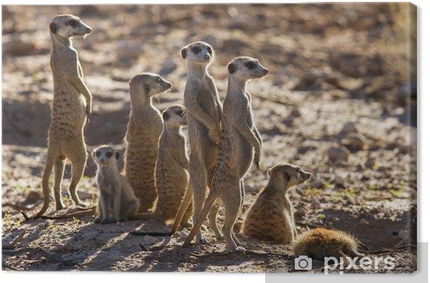 Leinwandbild Erdmännchen Familie, die in der frühen Morgensonne auf der Suche nach po - Säugetiere