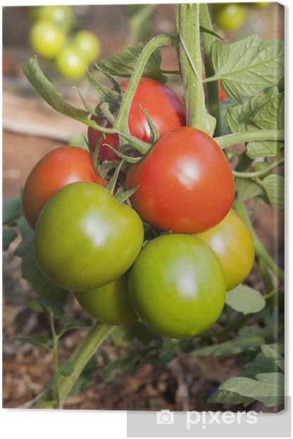 Leinwandbild Europa, Italien, Sizilien, roten und grünen Tomaten in einem Gewächshaus - Themen