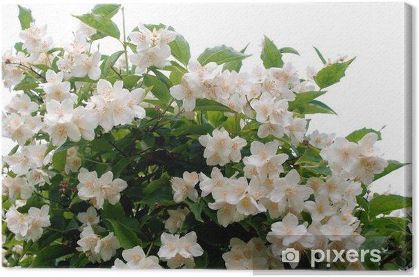 Leinwandbild Falscher Jasmin - Pflanzen