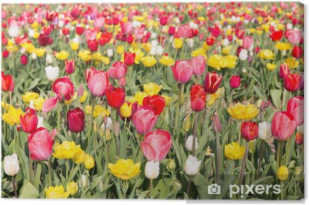 Leinwandbild Feld der schönen bunten Tulpen in den Niederlanden - Blumen