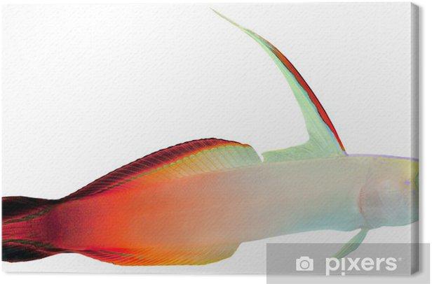 Leinwandbild Feuer-Fische (Magnificent Hover Goby) - Unterwasserwelt