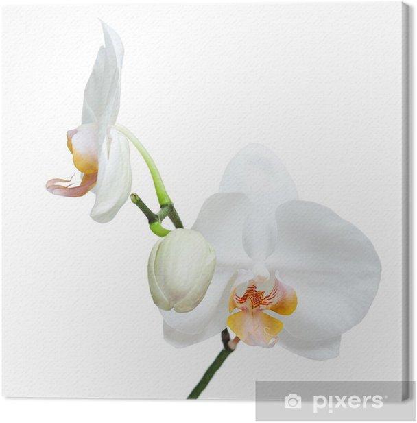 Leinwandbild Fife Tage alte weiße Orchidee isoliert auf weißem Hintergrund. - Wandtattoo