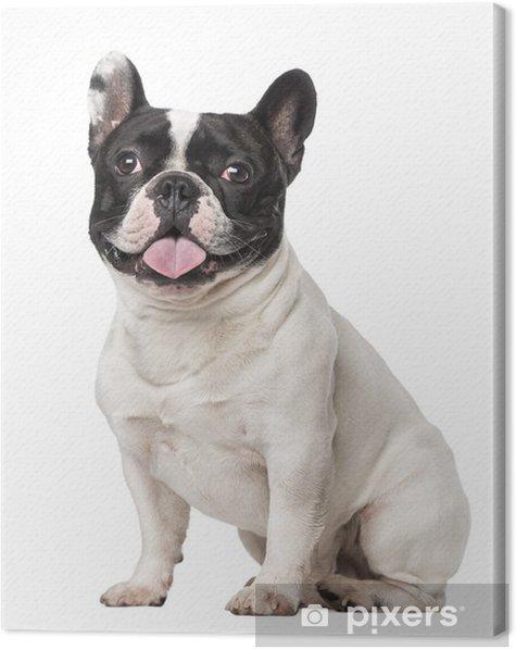 Leinwandbild Französisch Bulldog (18 Monate alt) - Säugetiere
