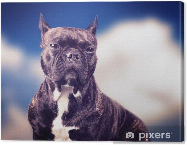 Leinwandbild Französisch Bulldogge auf dem blauen Hintergrund - Französische Bulldogge