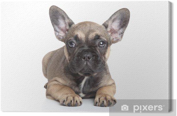 Leinwandbild Französisch Bulldogge Welpen - Säugetiere