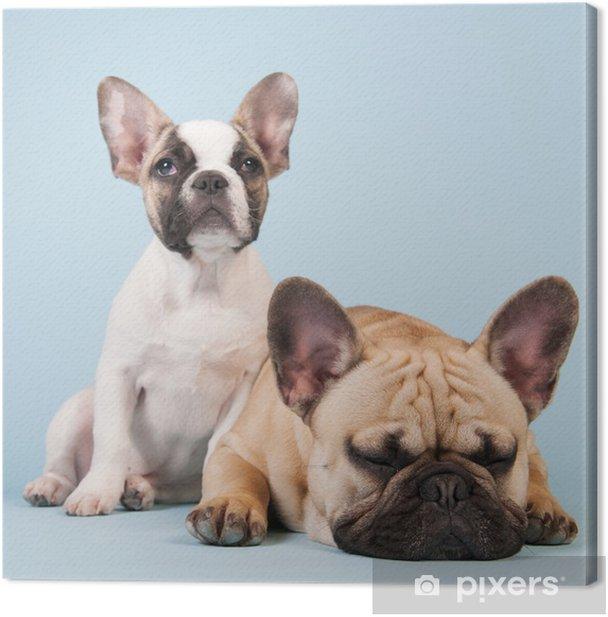 Leinwandbild Französisch Bulldoggen zusammen auf blauem Hintergrund - Französische Bulldogge