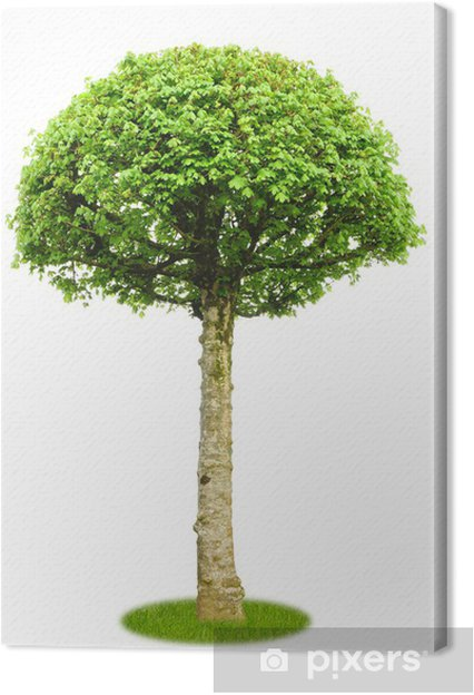 Leinwandbild Freigestellter Ahorn als Parkbaum - Jahreszeiten