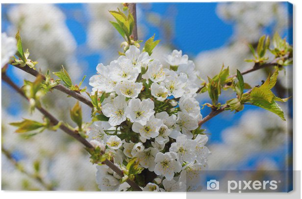 Leinwandbild Frühlings-Kirschbaum - Jahreszeiten