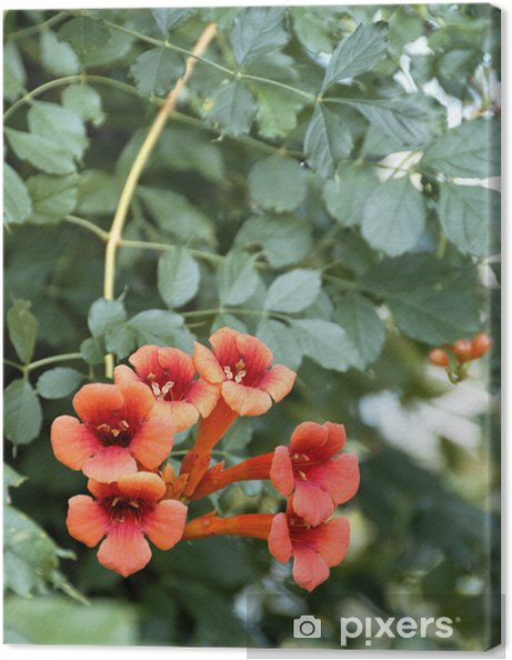 Leinwandbild Geißblatt - Pflanzen