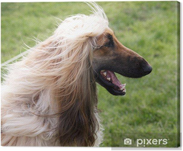 Leinwandbild Glücklich Afghanischer Windhund - Säugetiere