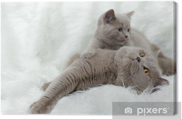 Leinwandbild Grau britische Katze auf einem weißen Hintergrund - Säugetiere