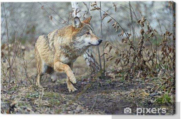 Leinwandbild Grauer Wolf im Wald - Themen