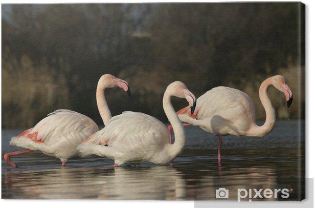 Leinwandbild Greater Flamingo, Phoenicopterus ruber - Vögel