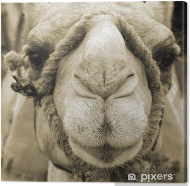 Leinwandbild Kamelgesicht - Themen