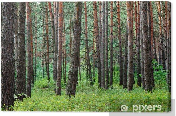 Leinwandbild Kiefernwald nach Sommer regen - Wälder