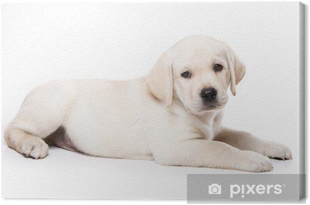 Leinwandbild Labrador Retriever Welpen Auf Weißem Pixers Wir