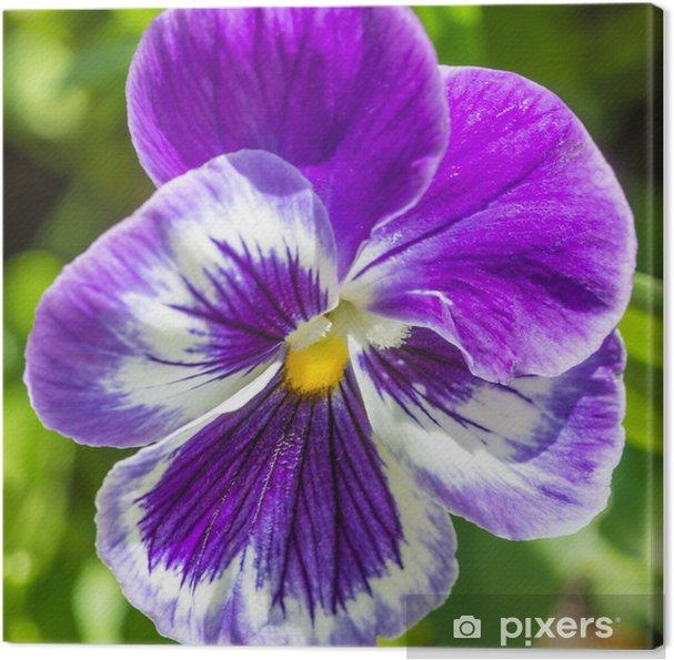 Leinwandbild Lila Stiefmütterchen - Blumen