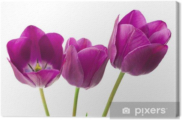 Leinwandbild Lila Tulpen isoliert auf weißem Hintergrund - Blumen