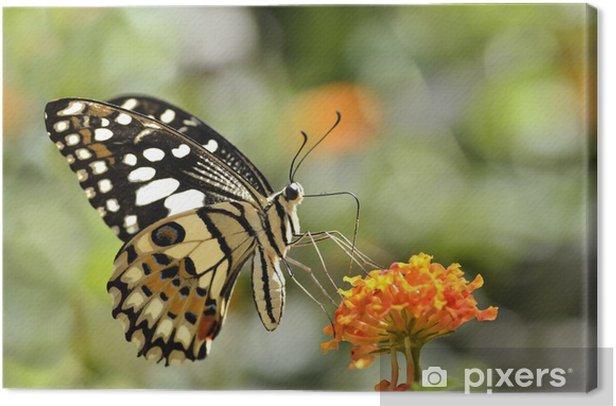 Leinwandbild Lime Schmetterling (Papilio demoleus) Fütterung auf Blume - Themen