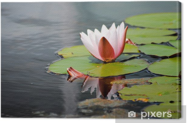 Leinwandbild Lotus Blume. Zarte Schönheit - Pflanzen
