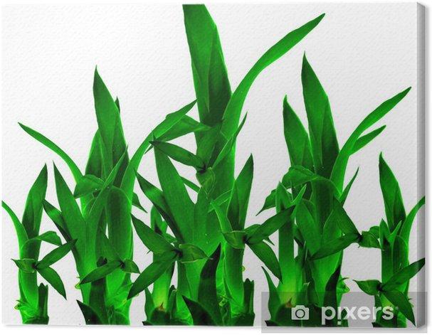 Leinwandbild Lucky Bamboo in isolierten weißen Hintergrund - Haus und Garten