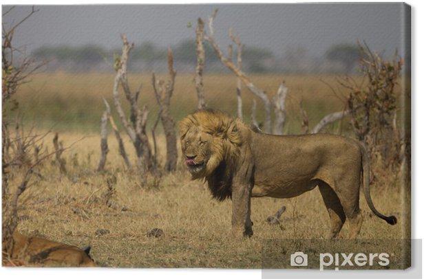 Leinwandbild Male Lion leckte sich die Lippen - Afrika