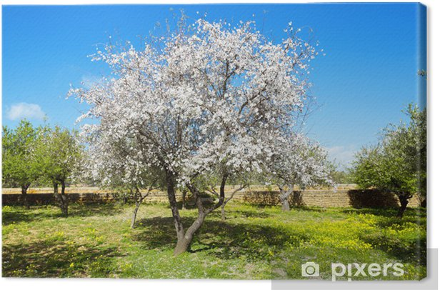 Leinwandbild Mandelbaum - Bäume
