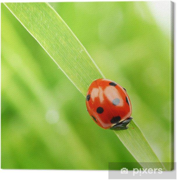 Leinwandbild Marienkäfer auf Gras - Andere Andere