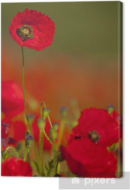 Leinwandbild Mohnblumen (Papaver rhoeas) in einem Feld von Getreide (Weizen / - Blumen