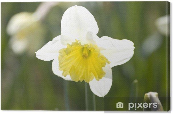 Leinwandbild Narzisse - Blumen
