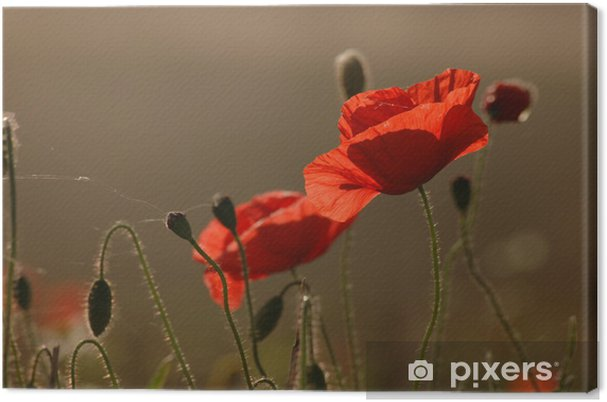 Leinwandbild Popies - Blumen