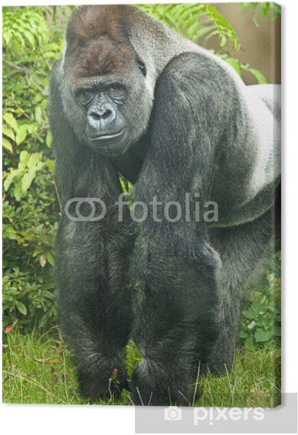 417648e376450 Leinwandbild Portrait von Silberrücken Gorilla • Pixers® - Wir leben ...