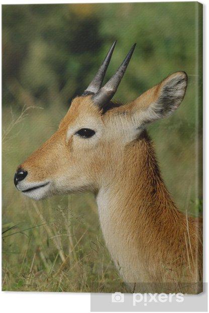 Leinwandbild Puku Antilope (Kobus vardonii) - Säugetiere