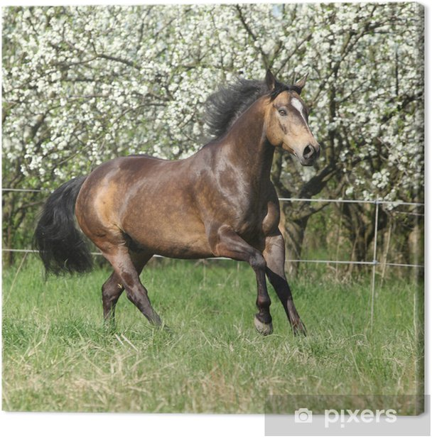Leinwandbild Quarter Horse läuft vor blühenden Bäumen - Säugetiere