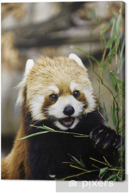 Leinwandbild Red Panda (Kleiner Panda) - Asien