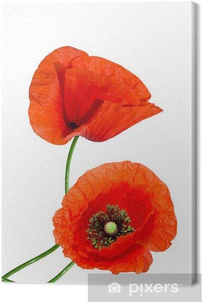 Leinwandbild Rote Mohn auf weißem Hintergrund - Blumen