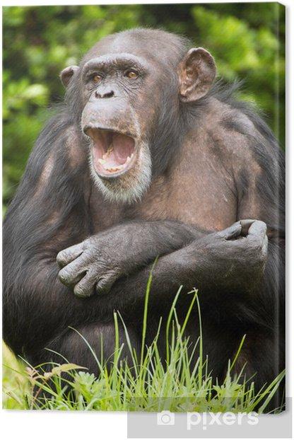 Leinwandbild Schimpanse - Säugetiere