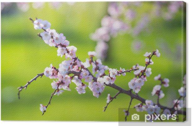Leinwandbild Schöne Aprikose weißen Blumen - Sonstige