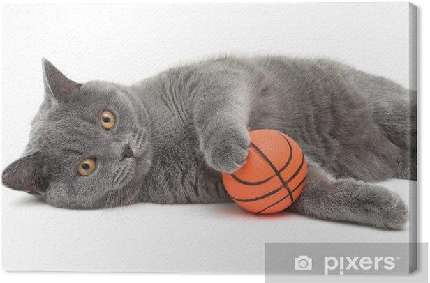 Leinwandbild Schöne Katze Rasse Scottish Straight Nahaufnahme mit Ball auf weißem - Säugetiere
