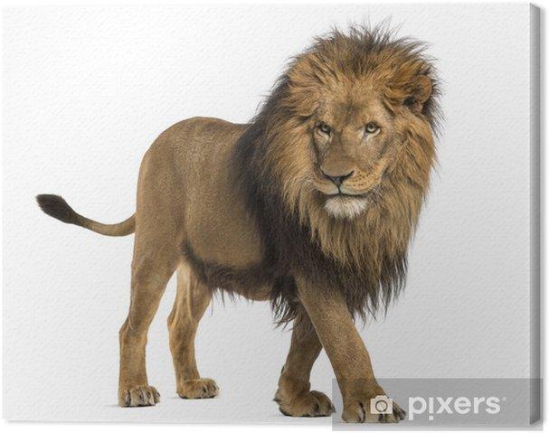 Leinwandbild Seitenansicht von einem Lion Walking, Panthera Leo, 10 Jahre alt - Säugetiere