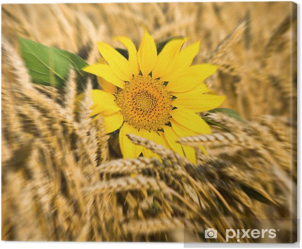 Leinwandbild Sonnenblumen auf dem Feld von Weizen - Landwirtschaft