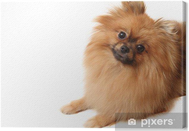 Leinwandbild Spitz Hund Erschossen Auf Einem Weißen Hintergrund