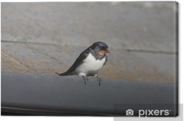 Leinwandbild Swallow, Hirundo rustica - Vögel